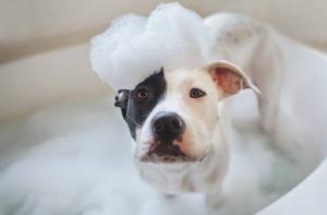 Best Shampoo for Pitbull Puppy