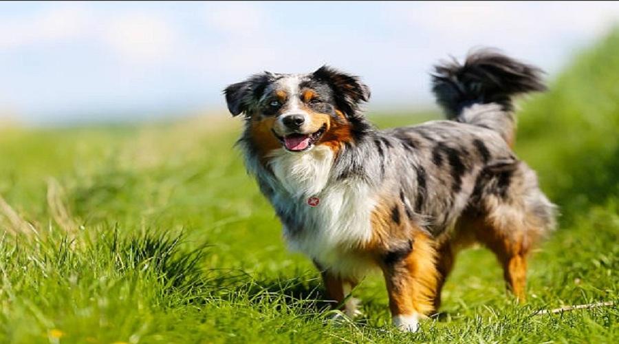 Popular Australian Shepherd Names For Dogs