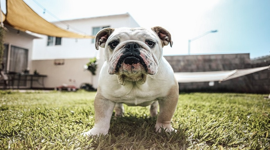 Amazing Names For Bulldog