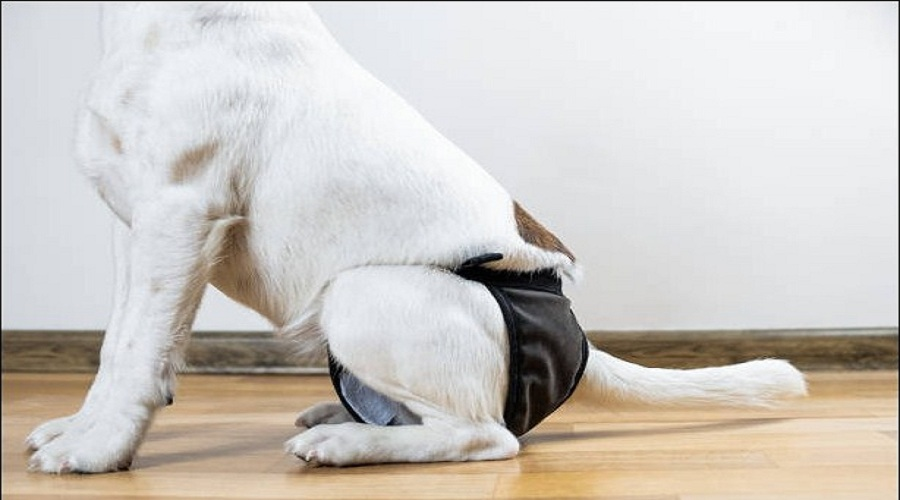 Complete Guide to Using and Choosing Dog Diapers